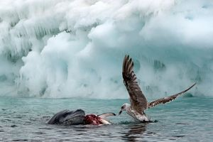 Leopard Seal in water with prey Southern Giant