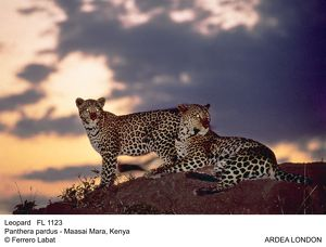 Leopard - two at sunset