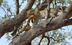Leopard - in tree with dead impala