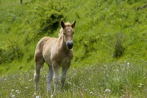 Light draught horse - foal