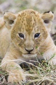 Lion - 3-4 week old cub