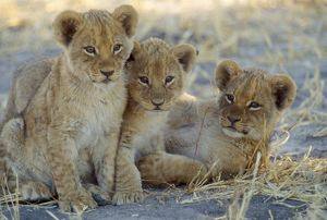 LION - three 8 weeks old cubs.