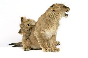 Lion cub (approx 16 weeks old) biting another cub