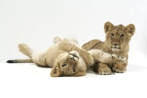 Lion cub (approx 16 weeks old) lying together