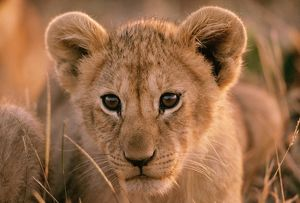 LION CUB - Close up of face