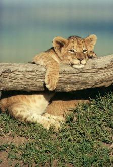LION cub - on log, resting