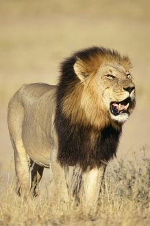 Lion - Male standing in grass