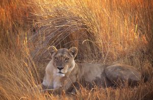 LION - single lioness lying in long grass