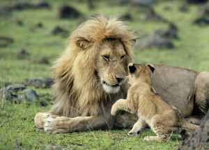 LION - single male playing with cub