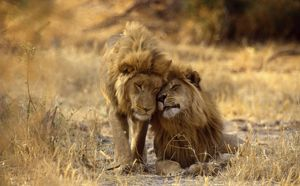 LION - two young males rubbing heads