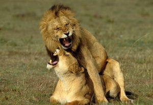 Lions - Mating