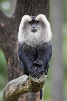 Liontail Macaque - male sitting on branch