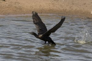 Little Black Cormorant taking off from a pond at Peppim