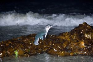 Little blue Penguin - adult penguin just coming ashore at night