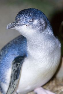 Little blue Penguin - portrait of an adult penguin just coming ashore at night