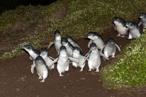 Little / Little Blue / Fairy Penguin - adults returning to l