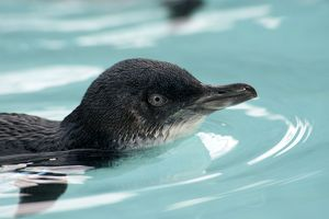 Little / Little Blue / Fairy Penguin - recovering - swims in