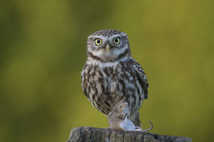 Little Owl - adult owl with a mouse standing