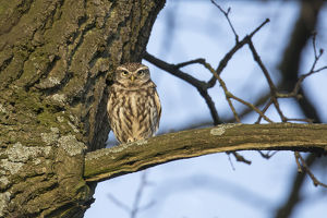 Little Owl - adult owl perched on branch - Germany