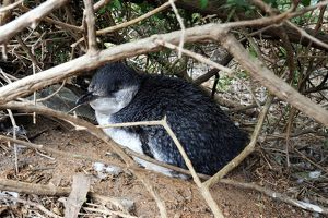 Little Penguin - adult near its nesting burrow after a feedi