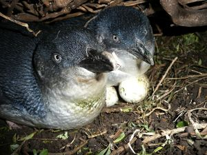 Little Penguin - incubating eggs in burrow - male and female