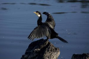 Little Pied Cormorant - Perched on a rock with wings