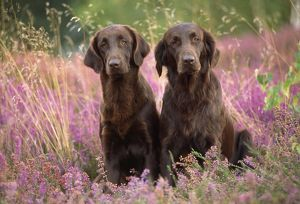 Liver Flat-coated Retriever Dogs