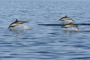 Long-Beaked Common Dolphin - leaping