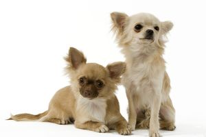 <b>Chihuahua (Long Coat)</b><br>Selection of 92 items