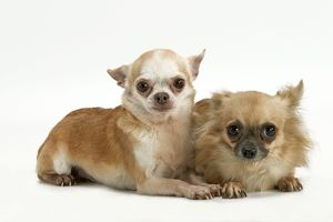 Long-coat and smooth-coat Chihuahua dogs - two puppies