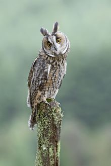 Long eared Owl - perched on post