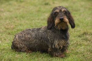 long haired dachshund teckel dog known doxie