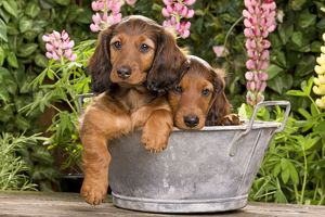 Long-Haired Dachshund / Teckel Dog / Doxie / Doxies in the US - sitting in old metal tub