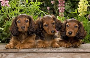 Long-Haired Dachshund / Teckel Dog / Doxie / Doxies in the US - by flowers