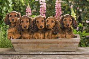 Long-Haired Dachshund / Teckel Dog / Doxie / Doxies in the US - sitting in a flowerpot