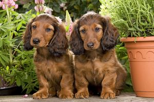 Long-Haired Dachshund / Teckel Dog / Doxie / Doxies in the US - by flowerpots