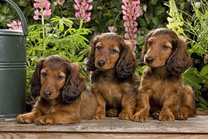 Long-Haired Dachshund / Teckel Dog / Doxie / Doxies in the US - 3 sitting down together
