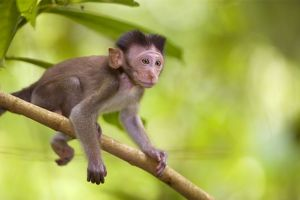Long-tailed / crab-eating macaque - baby monkey sitting on a branch in tropical rainforest