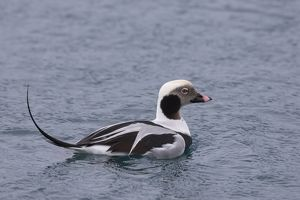 Long-tailed Duck swimming drake Iceland