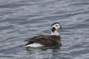 Long-tailed Duck swimming duck Iceland