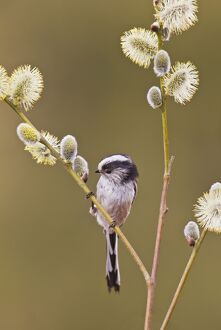 Long - tailed Tit - on Pussy Willow