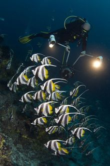 Longfin Bannerfish - with diver