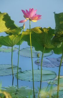 Lotus Lilies - grow in Top End waterways with pink flowers