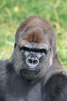 LOWLAND GORILLA - close-up of face