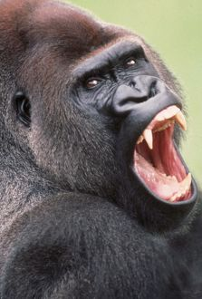 Lowland GORILLA - close-up of head, threatening display