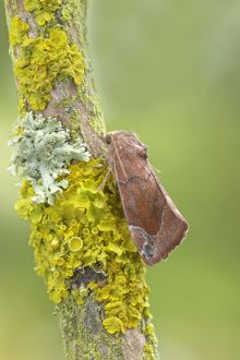 Lunar Spotted Pinion Moth