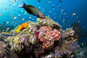 Lyretail Wrasse - with Tomato Anemonefish / Clownfish (Amphiprion frenatus) and Damselfish