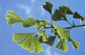 MAIDENHAIR TREE / GINKGO - Close-up of leaves