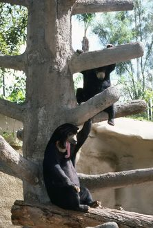 Malayan Sun Bear - showing long tongue