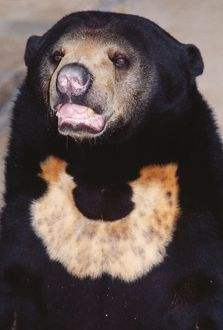 Malayan Sun Bear - Threatened